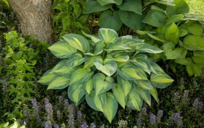 3 Tips for Growing Hostas in the Carolinas